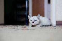 Gatito gris con la búsqueda de los ojos azules Imagenes de archivo