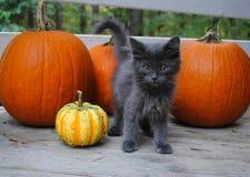 Gatito gris con las calabazas Imagenes de archivo