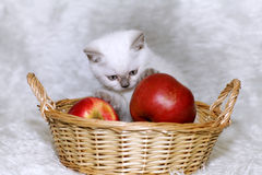 Gatito gris con las manzanas rojas Imagenes de archivo