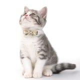 Gatito gris con un arco en su cuello que se sienta en un fondo blanco Fotos de archivo libres de regalías