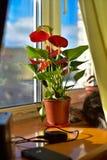 Gatito gris contento que toma el sol en la ventana y que admira la flor Imagen de archivo libre de regalías