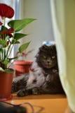 Gatito gris contento que toma el sol en la ventana y que admira la flor Foto de archivo