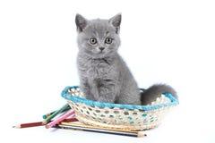 Gatito gris de una sentada británica del gato Imagen de archivo libre de regalías
