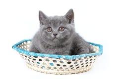 Gatito gris de una sentada británica del gato Fotografía de archivo