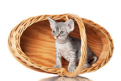 Gatito gris del rex de Devon en una cesta Imagen de archivo