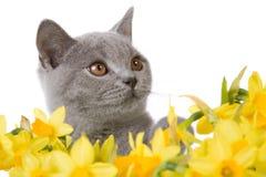 Gatito gris detrás de los narcisos 2 Imagenes de archivo