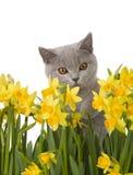 Gatito gris detrás de los narcisos 3 Foto de archivo libre de regalías