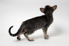 Gatito gris dulce de oriental del gato atigrado imagenes de archivo