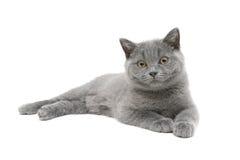 Gatito gris (edad 3 5 meses) en el fondo blanco Fotos de archivo