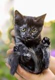 Gatito gris en la palma de una mujer Imágenes de archivo libres de regalías