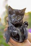 Gatito gris en la palma de una mujer Fotografía de archivo