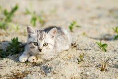 Gatito gris en una arena gris en la hierba Foto de archivo