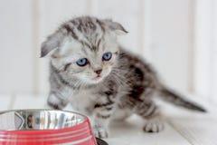 Gatito gris hermoso cerca del cuenco vacío del gato Imágenes de archivo libres de regalías