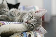 Gatito gris lindo que miente abajo mirando Fotos de archivo libres de regalías