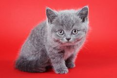 Gatito gris mullido británicos Fotos de archivo libres de regalías