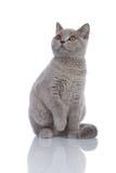 Gatito gris que mira para arriba Fotos de archivo