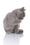 Gatito gris que se lame Fotos de archivo