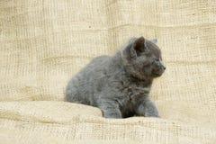 Gatito gris tranquilo Imagenes de archivo