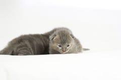 Gatito gris viejo de dos semanas Foto de archivo libre de regalías