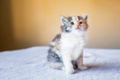 Gatito hermoso y colorido que se sienta en la tabla edad 3 meses Imagen de archivo