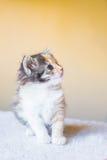 Gatito hermoso y colorido que se sienta en la tabla edad 3 meses Fotografía de archivo libre de regalías
