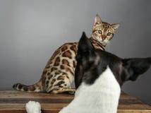Gatito joven del gato de Bengala con Boston Terrier fotos de archivo