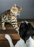 Gatito joven del gato de Bengala con Boston Terrier imágenes de archivo libres de regalías