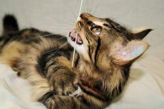 Gatito juguetón Foto de archivo