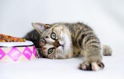 Gatito juguetón del calicó del gato atigrado que coloca al lado del cuenco de la comida Fotografía de archivo libre de regalías