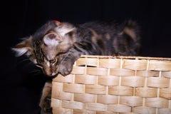 Gatito juguetón en cesta fotografía de archivo
