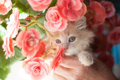 Gatito ligero mullido del jengibre en manos Imagen de archivo