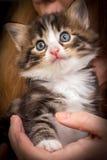 Gatito lindo con los ojos azules foto de archivo libre de regalías