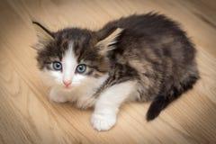Gatito lindo con los ojos azules fotos de archivo libres de regalías