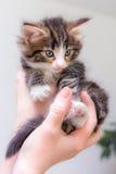 Gatito lindo con los ojos azules fotografía de archivo libre de regalías