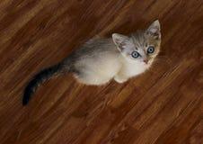Gatito lindo con los ojos azules Pequeño gatito Gatito lindo Imagen de archivo libre de regalías