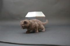 Gatito lindo con un juguete del diamante Fotografía de archivo