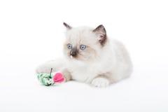 Gatito lindo de Ragdoll Fotografía de archivo