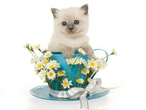 Gatito lindo de Ragdoll en taza azul grande Fotografía de archivo