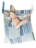 Gatito lindo de Sphynx en bolso de la clavija de ropa Imagen de archivo