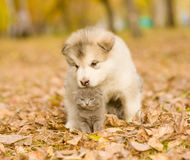 Gatito lindo del abarcamiento del perrito del malamute de Alaska en parque del otoño Fotos de archivo