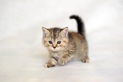 Gatito lindo del animal doméstico Imagen de archivo libre de regalías