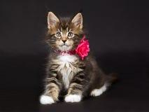 Gatito lindo del Coon de Maine con el collar del cuello Foto de archivo libre de regalías
