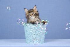 Gatito lindo del Coon de Maine con las burbujas foto de archivo