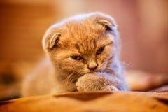 Gatito lindo del doblez Fotos de archivo libres de regalías