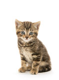 Gatito lindo del gato atigrado foto de archivo