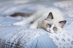 Gatito lindo del ragdoll en el edredón de remiendo imágenes de archivo libres de regalías