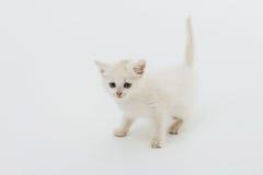 Gatito lindo en blanco fotos de archivo libres de regalías