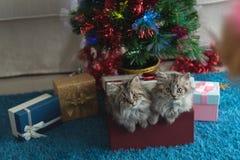 Gatito lindo en la Navidad fotos de archivo libres de regalías