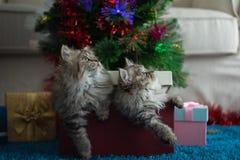 Gatito lindo en la Navidad foto de archivo libre de regalías