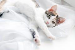Gatito lindo que miente en alféizar en una Tulle blanca brillante Fotos de archivo